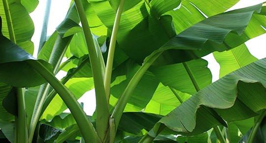 media/image/Bananenblatt-Laub_pi.jpg