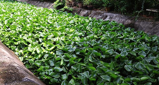 media/image/Wasserhyazinthe-Pflanzen_asIWweQpXSSntYq.jpg