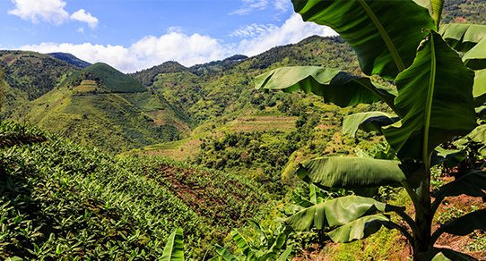 media/image/Bananenbaum-Plantage_asMwlhnSutbQa7P.jpg