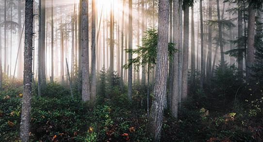 media/image/Kiefernholz-Baeume_us.jpg