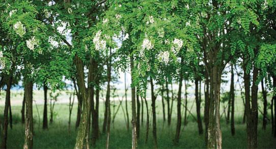Akazienholz Eigenschaften Pflege Bei Mobeln Massivum